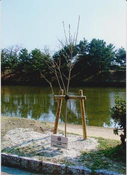 植樹桜 - コピー.jpg